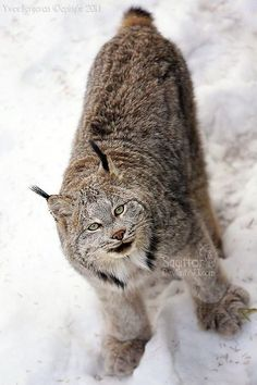 Animals And Pets, Baby Animals, Cute Animals, Wild Animals, Big Cats, Cool Cats, Beautiful Cats, Animals Beautiful, Canada Lynx