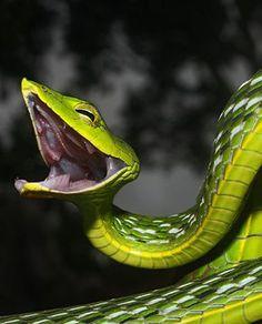 Asian Vine Snake ✏✏✏✏✏✏✏✏✏✏✏✏✏✏✏✏ IDEE CADEAU / CUTE GIFT IDEA ☞ http://gabyfeeriefr.tumblr.com/archive ✏✏✏✏✏✏✏✏✏✏✏✏✏✏✏✏