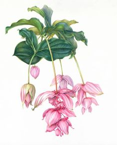 Medinilla magnifica 2015 2015 - 70 x 60 cm. Botanical Flowers, Exotic Flowers, Tropical Flowers, Botanical Prints, Pink Flowers, Botanical Drawings, Botanical Illustration, Illustration Art, Watercolor Flowers