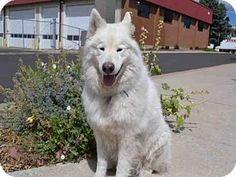 8/28/15 Aurora, CO - Samoyed. Meet PEACE, a dog for adoption. http://www.adoptapet.com/pet/13709020-aurora-colorado-samoyed