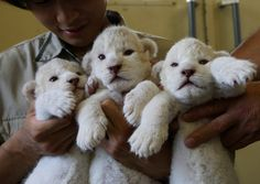 white lion cubs born recently!