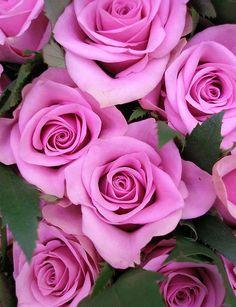 Gathering purple roses