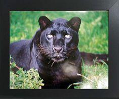 Black Leopard (Panther) Animal Wildlife Wall Contemporary... https://www.amazon.com/dp/B01N0QPH7O/ref=cm_sw_r_pi_dp_x_UztIzbSWKQDRQ