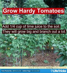 While planting your tomatoes, if you add 1/4 cup of lime juice to the soil. They will grow big and branch out a lot.