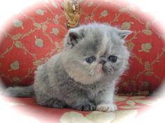 himalayan cats, exotic cats, persian cats