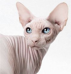 Poor thing…It's sad that he looks so bare... Sphynx