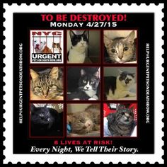 NYC PLEASE!!!! *EIGHT LIVES AT RISK ** NYC ** 8 AMAZING Cats are TO BE DESTROYED 04/27/15 They Don't Have Long To Live - TO BE DESTROYED Monday 04/27/15 Please ADOPT * FOSTER * PLEDGE * SHARE * EDUCATE * Take a Stand against Animal Neglect & Abuse!!  https://www.facebook.com/media/set/?set=a.996222627062391.1073742667.220724831278845&type=3