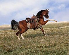 Chase N It Farm - Rhoad Rhave Arabian Nancy Pierce photo