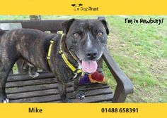 Mike here from Newbury loves to play ball and will bring a tennis ball back to your feet ready to be thrown again & again.  Mike can be a bit on the boisterous side so he needs some one who can keep up with his high energy levels. He is currently having training to help keep him calm in certain situations as he can get very over excited at times.