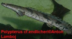 Polypterus endlicheri.
