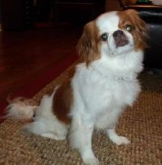 Oscar is an adoptable Japanese Chin Dog in Bellbrook, OH.  Before applying to adopt, please consult with ALL family members on adopting a pet. Temporary Foster Homes in Ohio are desperately needed for...