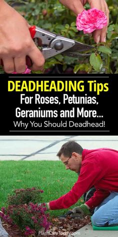 Deadheading flowers off roses, petunias, geraniums and other annuals and perennials helps them bloom longer, control disease and make plants look better.