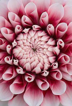 Close up of the centre of the pink flower of dahlia tiptoe (Miniature flowered decorative) via www.clivenichols.com