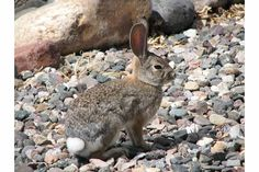 One of many bunnies in Sun City Az Sun City Az, Shutterfly, Bunnies, Arizona, Rabbit, Bunny