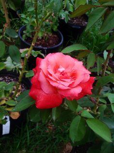 Brigadoon, a fun and flirty Hybrid Tea garden rose.