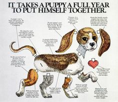 Really cute dog growth chart. Just keep in mind larger breed dogs take 2 years instead of 1.