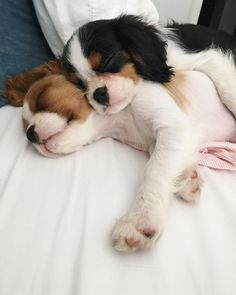 hunderassen 15 Things All Cavalier King Charles Spaniel Owners Must Never Forget & The. The post hunderassen 15 Things All Cavalier King Charles Spaniel Ow& appeared first on Bruce Kennels. King Charles Puppy, Cavalier King Charles Dog, Cute Puppies, Cute Dogs, Awesome Dogs, Funny Dogs, Cavalier King Spaniel, Spaniel Puppies, Labradoodle Puppies
