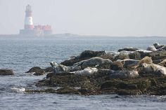 The Farne Islands seal colonies off the Northumberland coast