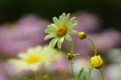 マーガレット (木春菊) /Chrysanthemum frutescens