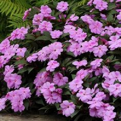 Impatiens Seeds 25 New Guinea Impatiens Divine Lavender All Flowers, Lavender Flowers, Exotic Flowers, Large Flowers, Beautiful Flowers, Lavender Garden, Impatiens Plant, Impatiens Flowers, Petunias