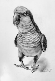 Hyper-Realistic Wildlife. Photograph quality drawings using graphite and charcoals, by  Peter Williams.  Click the photo for more Information and more of these Images.