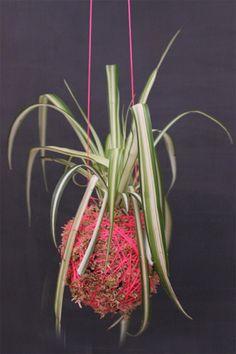 Moss ball hanging plant