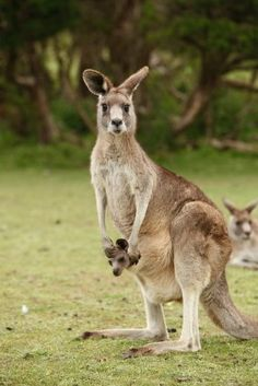 Kangaroo - THE MAIN DIFFERENCE BETWEEN A WALLABY AND KANGAROO IS THE WALLABY IS SMALLER>