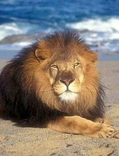 Male African Lion (Panthera leo) on the Beach by the Ocean, controlled conditions Nature Animals, Animals And Pets, Baby Animals, Cute Animals, Beautiful Lion, Animals Beautiful, Big Cats, Cats And Kittens, Gato Grande
