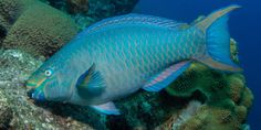 One of Bonaire's most significant rules is that grazing fish, like parrotfish, which help keep the reef healthy and clean for corals, and other kinds of ocean life, are universally protected.