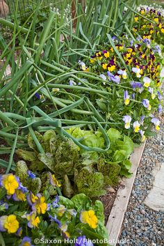 Ornamental organic edible border with onions, lettuces, and pansy flowers, Rosalind Creasy front yard garden