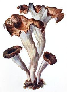 trumpet of death (Craterellus cornucopioides) Albin Schmalfuss, from Führer… Mushroom Drawing, Mushroom Art, Plant Illustration, Botanical Illustration, Botanical Drawings, Botanical Prints, Wild Mushrooms, Stuffed Mushrooms, Sick Tattoo