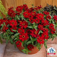 Profusion Red Zinnia - Best plants for container gardening from Family HandyMan #containergarden