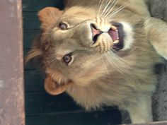 Leo our lion at Dade city's wild things