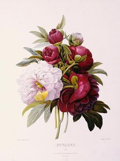 peonies Engraved By Prevost Pierre Joseph Redoute - Painting