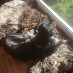 Another lovely shot of Stephen Chesterman's rescue Doberman Koa - this time lounging on a fleece which is situated in a lovely sun spot looking out into the garden. Enjoy soaking up those warm rays, Koa! Sun Spot, Doberman, Fans, Garden, Garten, Lawn And Garden, Gardens, Dobermans, Gardening