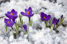 Send winter flowers to your special ones and make their winter season joyful. Free online Joy To My Heart ecards on Winter Flowers Day Winter Flowers, Spring Flowers, Purple Flowers, Crocus Bulbs, Comment Planter, Spring Sign, Early Spring, Spring 2014, Winter Garden