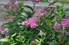 File:Spiraea japonica 25-06-2010 13-58-09.JPG