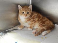 Kelsie - URGENT - PIKE COUNTY ANIMAL SHELTER in Pikeville, Kentucky - ADOPT OR FOSTER - Female Domestic SH KITTEN