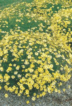 "COREOPSIS Moonbeam Coreopsis verticillata 'Moonbeam' Height:	16-20"" Spread:	18-24"" Flowers:	Pale yellow Blooms:	6-8 weeks, starting June Zone:	3-9 Soil:	Does well in most conditions Additional Information: Deadhead for more blooms. Cut back by 2/3 for second bloom. Try planting with Bellflower, Shasta Daisy, Salvia. 1992 Perennial Plant of the Year."