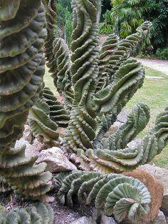 Under the sea - Rio de Janeiro - Jardim Botanico - Succulents garden - 01 - curly cactus by j-squared, via Flickr