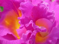 Orchids, Flowers, Pink, Purple, Petals