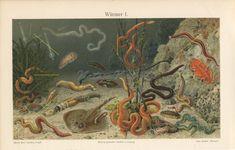 Antique #marine #worm print | #Nematodes | #Ugly #marinelife | #Marineart | #Marinebiology | #Marinebiologist gift | #Plankton | 1909 #Antiqueprints #vintagedecor Ocean Scenes, Life Aquatic, Antique Prints, Old Antiques, Marine Life, All Print, Decoration, Underwater, Vintage