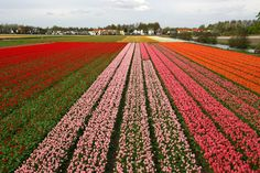 Tulip Fields, Holland- Flower bulb cultivation is a key economic driver in townships of North Holland, South Holland, and Flevoland, toward the center of the country. The best time to visit Holland to see tulips in full bloom is mid-March to mid-May. Welcome To Holland, Visit Holland, South Holland, Holland Michigan, Growing Tulips, Planting Tulips, Tulips Garden, Daffodils, Holland Garden