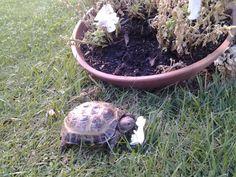 Jacinto mangando flores