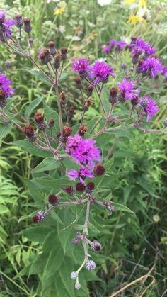 Veronica missurica - Giant ironweed