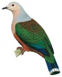 Green Pigeon, Mindoro, Blue Tail, Pretty Birds, Nature, Animals, Amazing Things, Google Search, Naturaleza