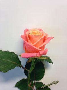 Norsk navn: Rose Botanisk navn: Rosa 'Miss Piggy'