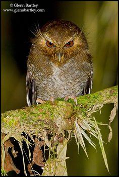Long-whiskered Owlet (Xenoglaux loweryi), by Glenn Bartley