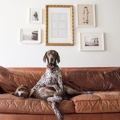 56 Adorable Dogs and Puppies Pics Just For You Gsp Puppies, Pointer Puppies, Cute Dogs And Puppies, I Love Dogs, Doggies, Pointer Dog, Short Haired Pointer, German Shorthaired Pointer, German Shepherd Puppies
