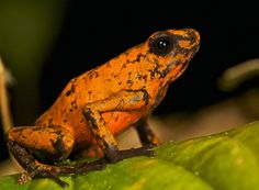 Histrionic poison arrow frog (Oophaga sylvaticus) (6) | Flickr - Photo Sharing!
